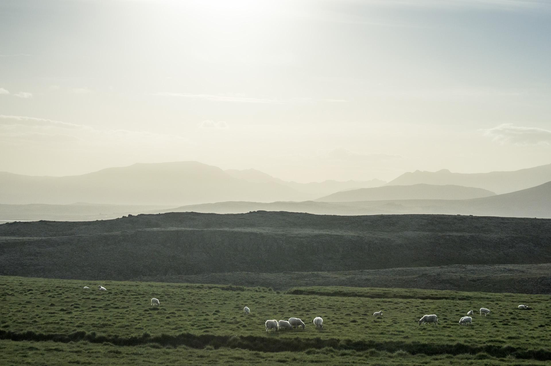 Sheep roaming a pasture off of Skeiða-og Hrunamannavegur, north of Flúðir, Iceland.