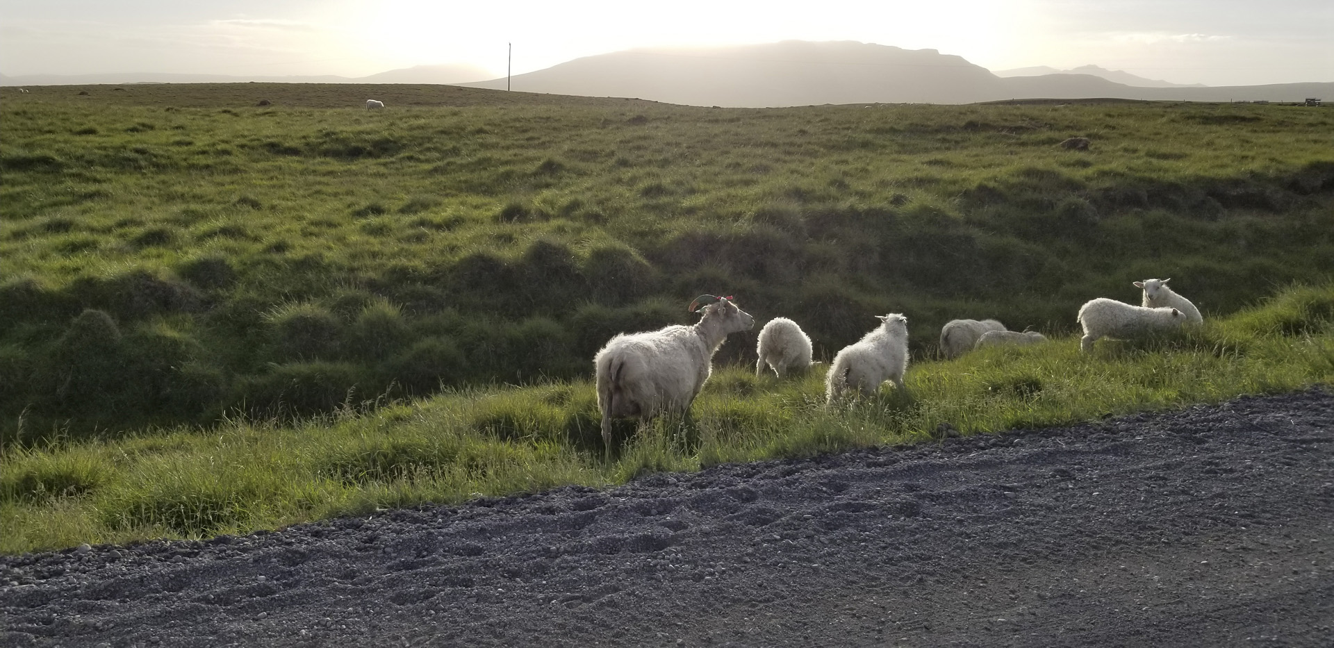 Sheep roam the roadside of Skeiða-og Hrunamannvegur, north of Flúðir, Suðurland, Iceland.