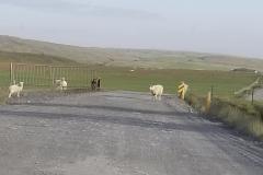 Sheep roam Skeiða-og Hrunamannavegur, north of Flúðir, Iceland.