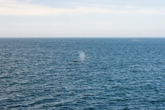 Humpback whale spouts in Faxaflói bay, Iceland.