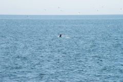 Fluke of a humpback whale, Faxaflói bay, Iceland.