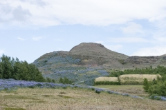 Nookta lupine flowers cover fields and bluffs near Þjóðveldisbærinn Stöng, Suðurland region, Iceland.
