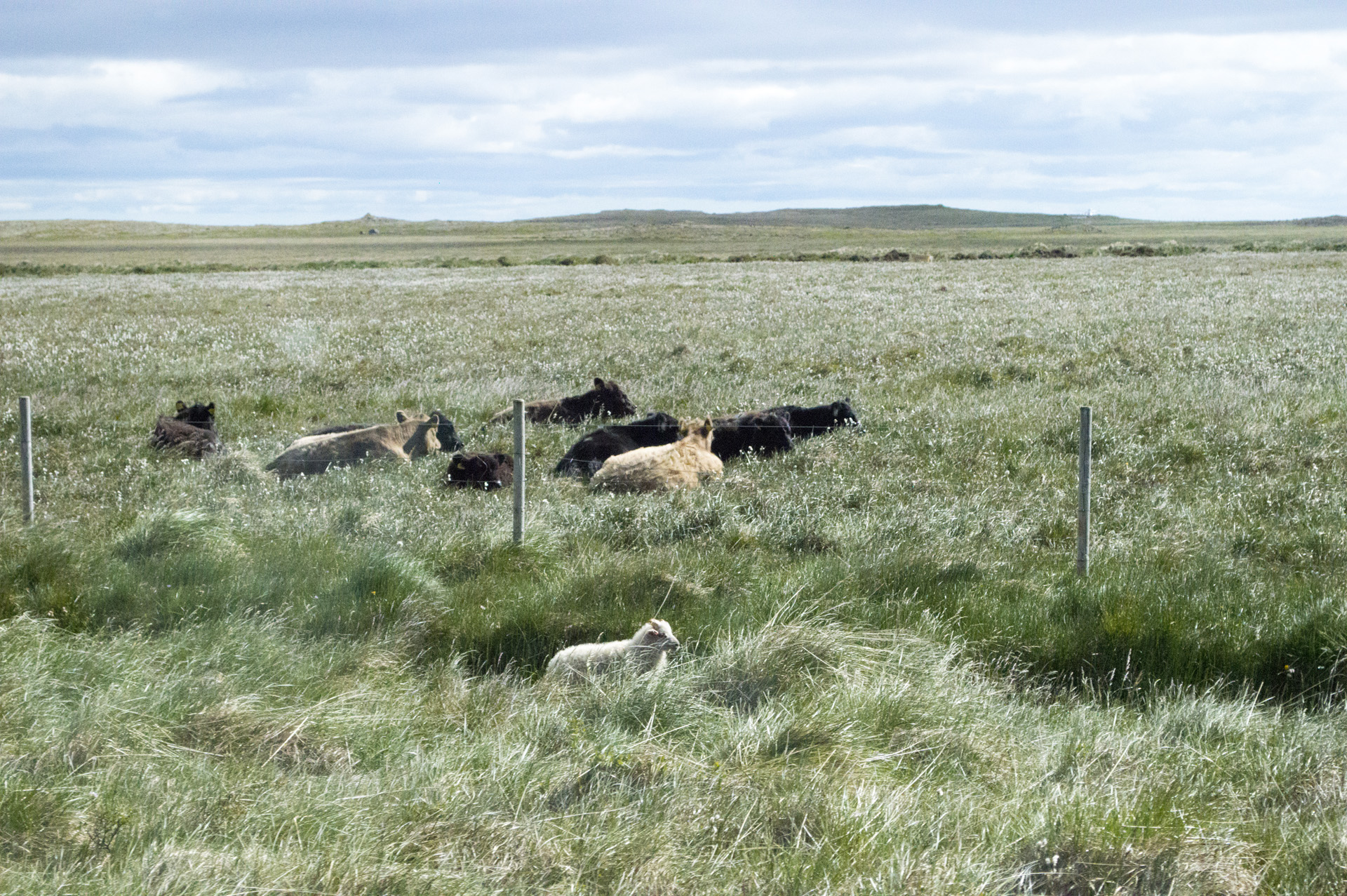 Cows in a field and sheep along the side of Snæfellsnesvegur, Vesturland region, Iceland.