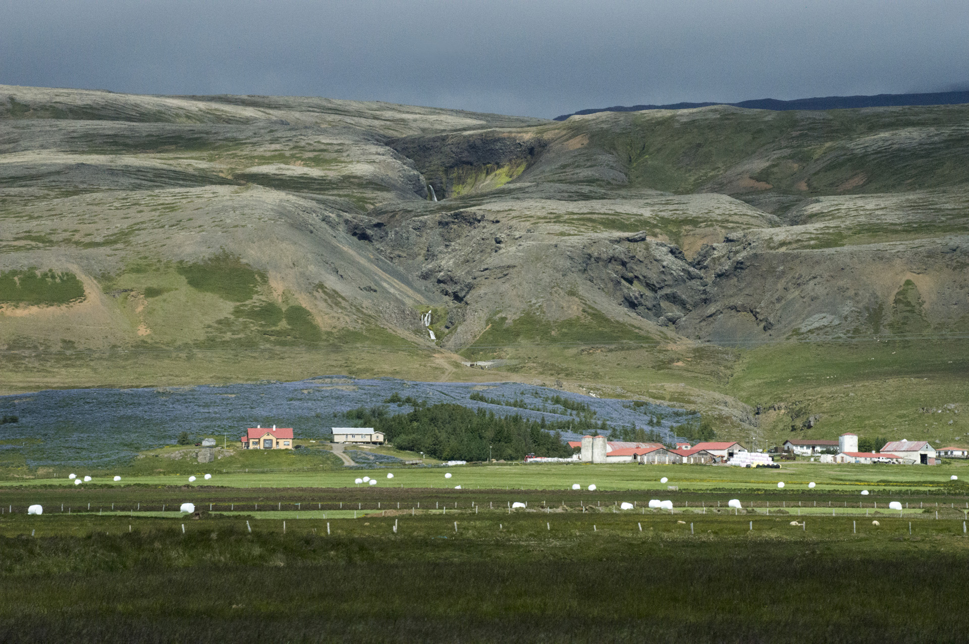 Nookta lupine flowers bloom behind a farm at the base of Rófuborg mountain, Vesturland region, Iceland.